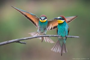 European bee-eaters by Sergey-Ryzhkov