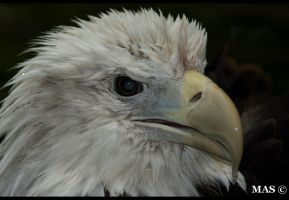 Bald Eagle_1011 by MASOCHO