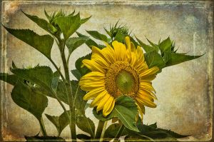Vintage Sunflower by muffet1