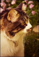 Maine Coon Afternoon by cursedsight