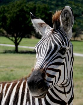 Zebra stock II by idnurse41