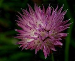Chive by barcon53