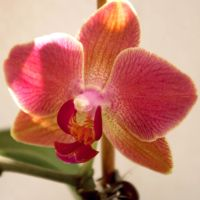 My own orchids 3 by steppelandstock