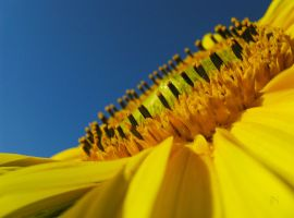 Sunflower's Point of View by JoannaMoory