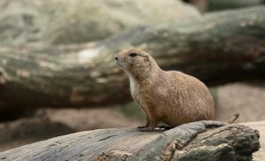 Prairie dog by orestART