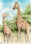 ACEO Two Giraffes by haz-elf