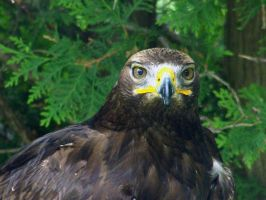 Young Bald Eagle 3 by Malakhite