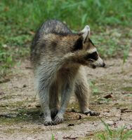 Raccoon 1 by SalsolaStock