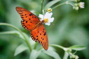 Gulf Fritillary Butterfly by TomFawls