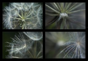 Transitions: Dandelion by syrus