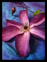 Clematis by Ceridwens-gallery