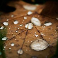 Drops on oak leaf by JakezDaniel