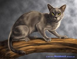 Blue Burmese by BlackMysticA