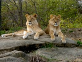 We've got Lions in Kenya by RemnantMemory