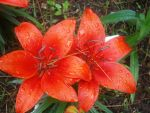 Orange Lilies by iAmoret