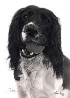 Commission - Springer Spaniel with ball by Captured-In-Pencil