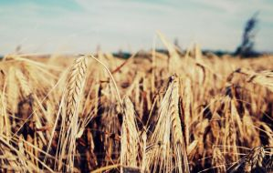 Wheat. by SuirisWhite