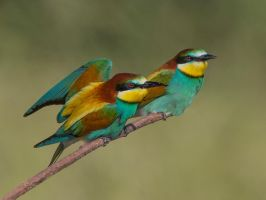 cuddling up together  - European bee-eaters by Jamie-MacArthur