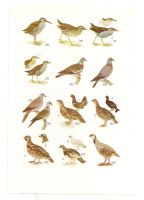 Antique birds print 11 by OMEGA86