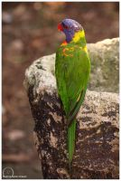 Rainbow Lorikeet 4 by eagle79