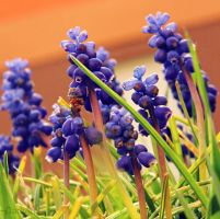 -Armenian grape hyacinth- by DarkAfi4