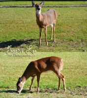 Deer/Doe Stock images2 by daftopia