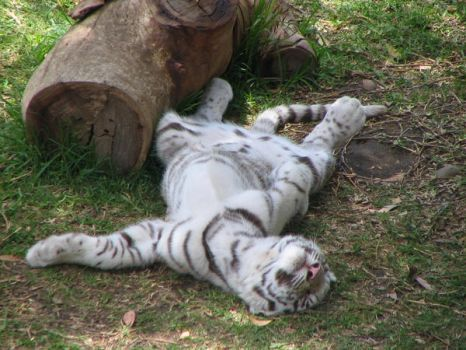 white tiger cub 4 by NikiljuiceStock