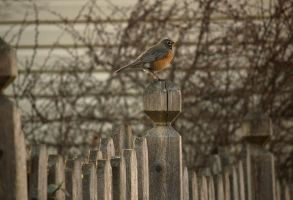 American Robin On fence by toshema