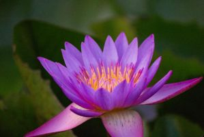 Lotus by dagia4all