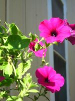 pink petunias by crazygardener