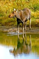 Oxbow Bend Moose by Kippenwolf