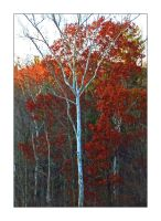 Red tree.L1030918, with story by harrietsfriend