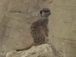Meerkat Stock 7 by bubblewrap-pancakes