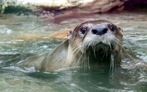 Otter going for a swim. by sweatangel