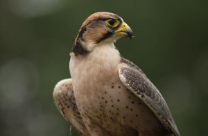 Lanner Falcon by CamStatic
