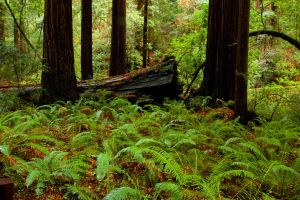 Ferns Redwoods Muir Woods by gursesl