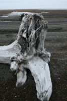 Beach wood stump by Arctic-Stock