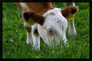 Cow 14065 by deaconfrost78