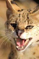 Serval II by LHufford