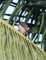 Red-whiskered Bulbul 1 by RixResources