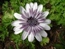 White and Purple Daisy by spotnick97