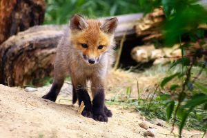 Baby Fox II by Sagittor