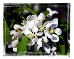 whispers of Spring to Stacey by TSHansen