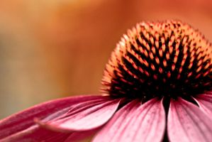 Coneflower by Johnnymare