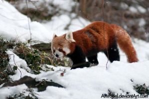 Red Panda VIII by amrodel
