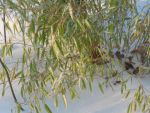 clumping bamboo in the snow by crazygardener