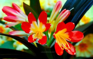 Clivia by Lanzie