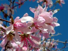 Pink Magnolia 2 by jewels4665