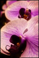 Orchidea by Irv-Ing