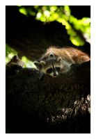 Raccoon Family by serenityamidst
